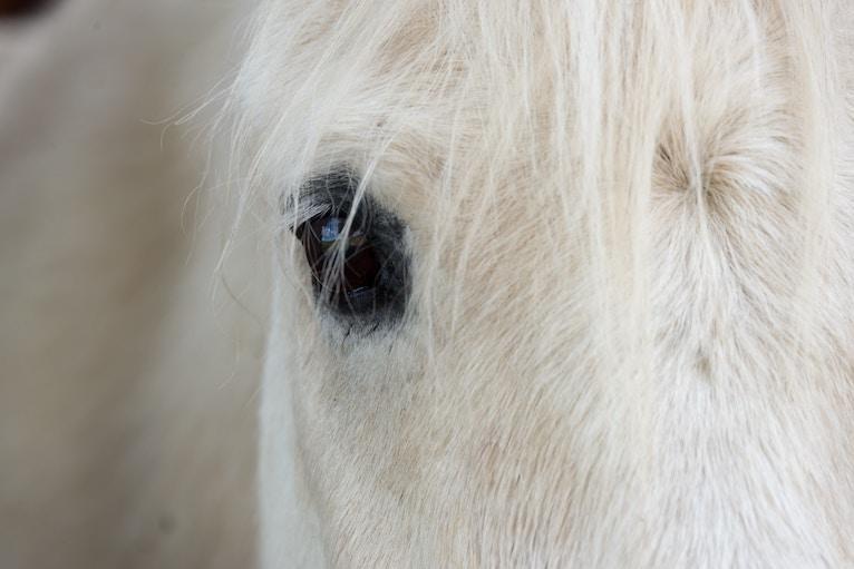 Closeup of a grey horse's face