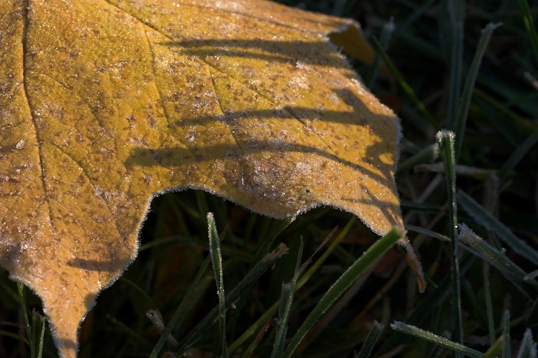 A golden leave touch by frost