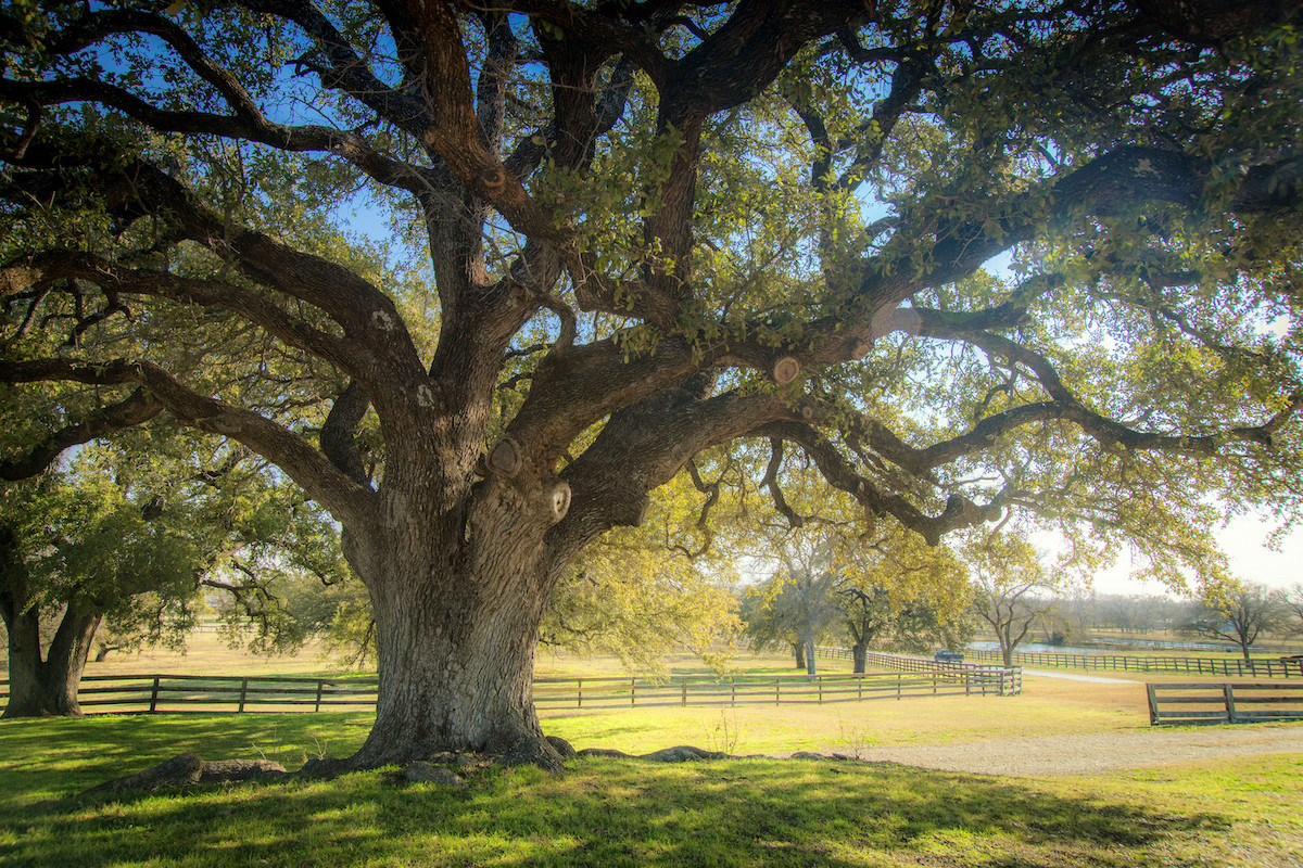 Live oak tree in front of horse pastures