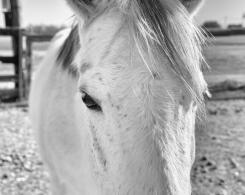 A grey horse stares quietly into the camera