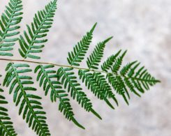 A fern frond with a set of leaves missing